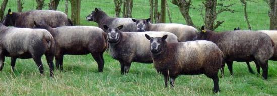 Origins Blue Texel Sheep